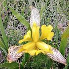 Hungarian Iris