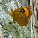 Moth - Callidulidae