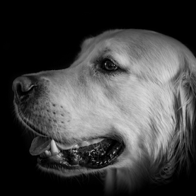 Dudley by Mike Woodford - Animals - Dogs Portraits ( retriever, dog, friend, golden )