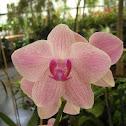 Pink Vanda (orchid)