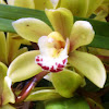 Boat Orchid
