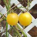 'Italian Ice' Cherry tomato