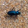 Blue Raiboscelis Darkling beetle