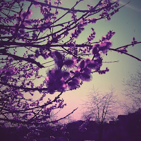 Purple Sunset by Nat Bolfan-Stosic - Uncategorized All Uncategorized ( purple, sunset, tender, trees, willow )