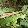 Green Wood pecker Stick insect
