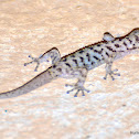Yellowbelly Gecko