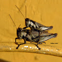 Cricket (Grilo)