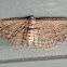 Brown Bark Carpet Moth