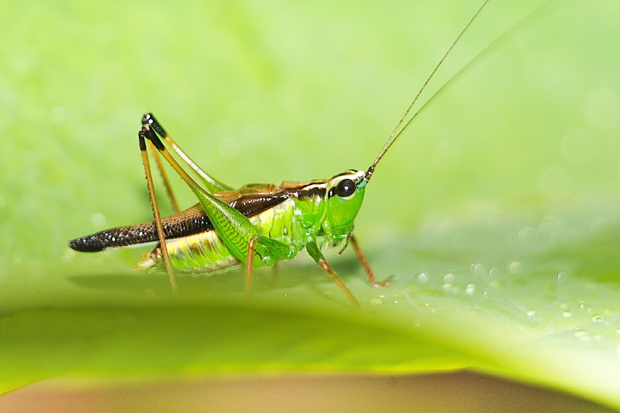 Grasshopper by Jali Razali - Animals Insects & Spiders ( , Backyard, insects, reptiles, living creatures, green, colors, daily life )