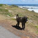Cape Baboon