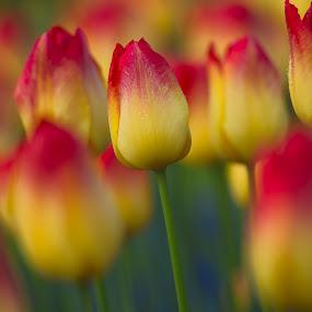Tulips, Tulips by Lynn Wiezycki - Flowers Flower Gardens ( red, holland, tulip, yellow, garden, flower )
