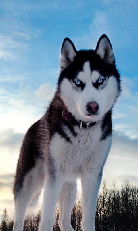 Siberian Husky Hd 42 Siberian Husky Hd Wallpapers Background Images