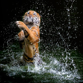 playing in the water by Dikky Oesin - Animals Lions, Tigers & Big Cats