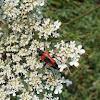 Red Flower Longhorn Beetle