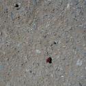 Red Velvet Ant (Cow killer) (female)