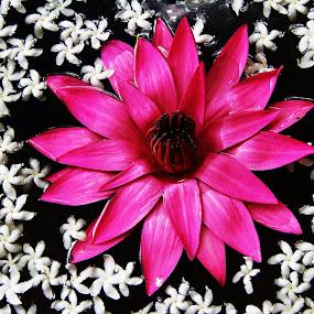 Single in pink by Konstanze Singenberger - Flowers Single Flower ( pink flower yasmin lake )