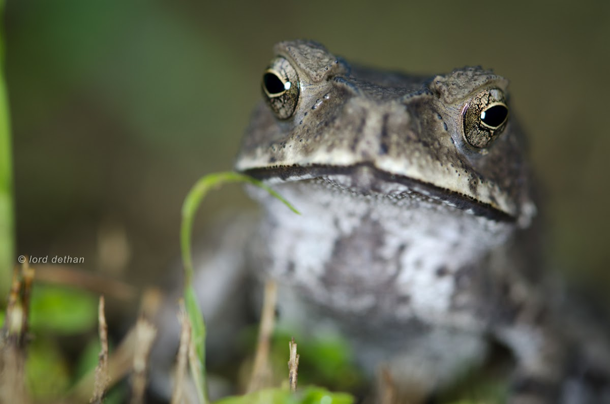 Common House Toad
