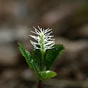 Japanese Chloranthus