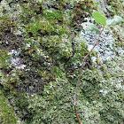 Lichens & Coast Live Oak
