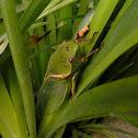 Green Grocer Cicada