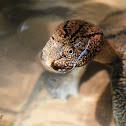 Tioman Soft Shelled turtle