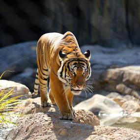 On the prowl by Matt Padgett - Animals Lions, Tigers & Big Cats