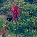 Canna (lily)
