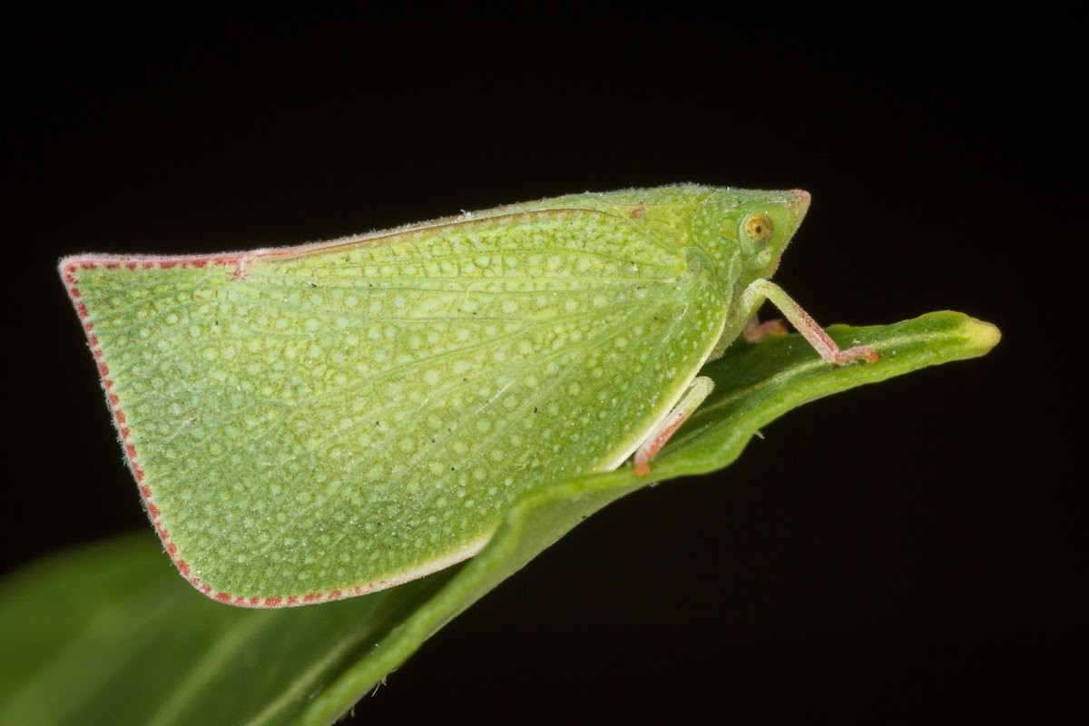 Common Green Planthopper