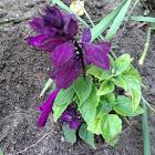 Salvia 'Salsa purple'