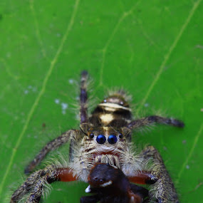 Canibalism by Rizal Meilano - Animals Insects & Spiders ( jumping spider, spider )