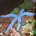 Blue linckia sea star