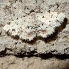 noctuid moth -male
