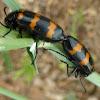 Blister Beetle (copulation) ♂ ♀