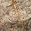 Forida Blue Centipede