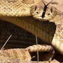 Plains Rattlesnake