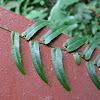 Centipede Plant
