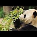 Panda Wallpaper , 壁紙 パンダ logo