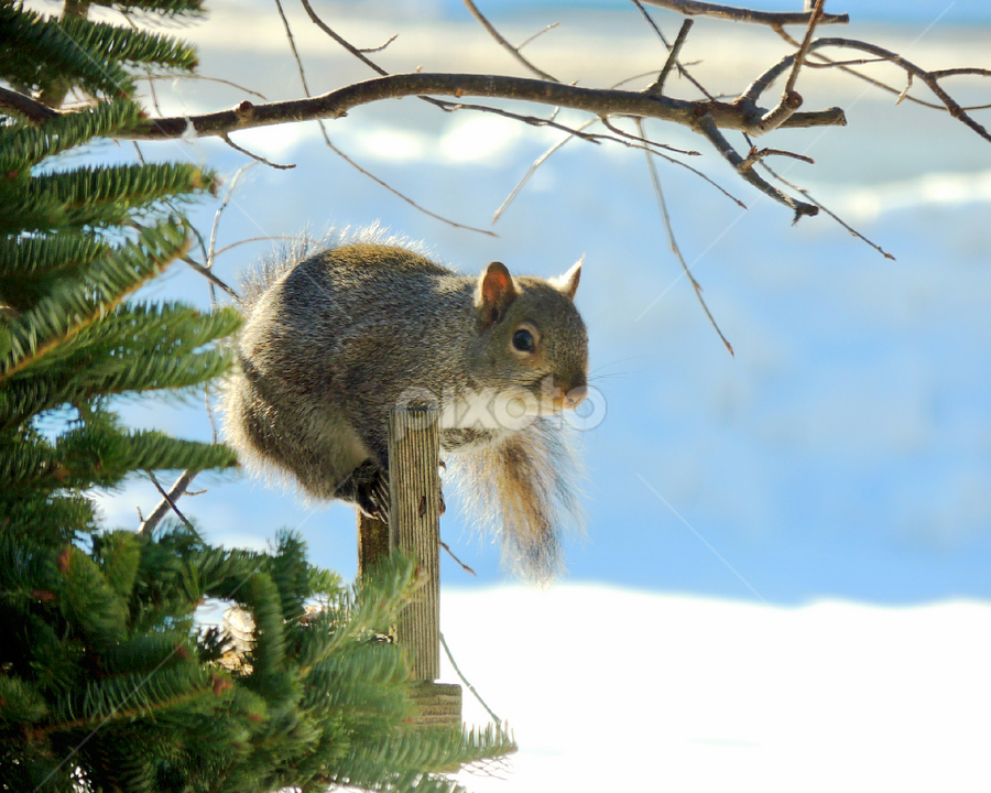 Squirrel by Sydney Badeau - Animals Other Mammals ( mammel, tree, snow, grey, outside, squirrel )