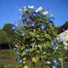 Heavenly Blue / Ukrasni slak