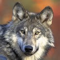 Wolf Gallery & HD Wallpapers icon