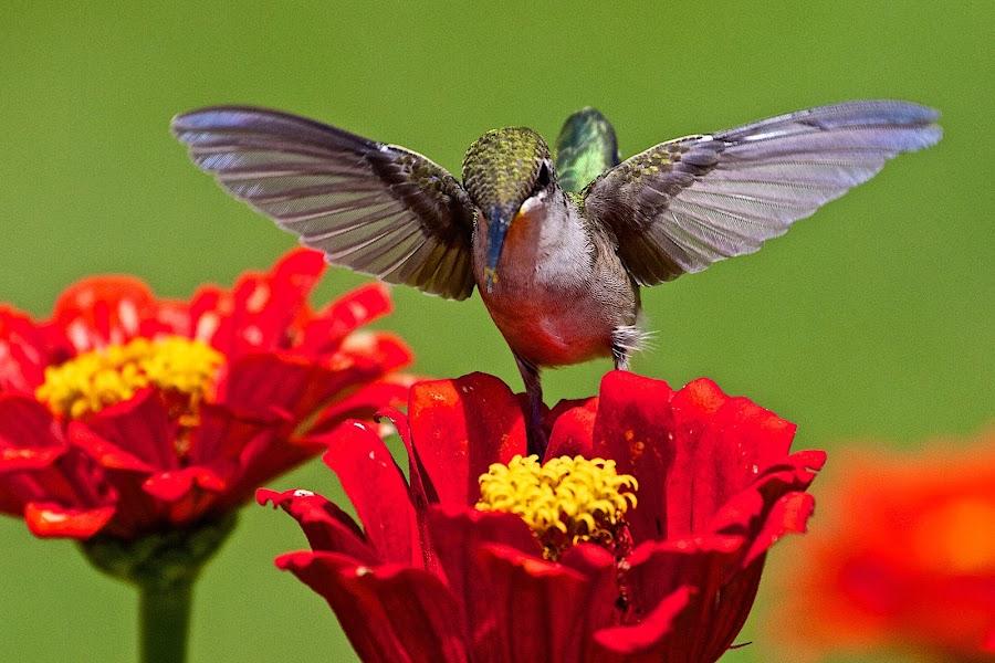 Hummingbird 1 by Dan Ferrin - Animals Birds ( bird, nature, hummingbird, wildlife, birds, humming bird )