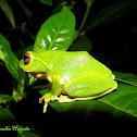 Stuart's shrub frog