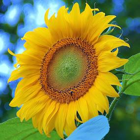 Yellow Sunshine by Dominick Darrigo - Flowers Single Flower