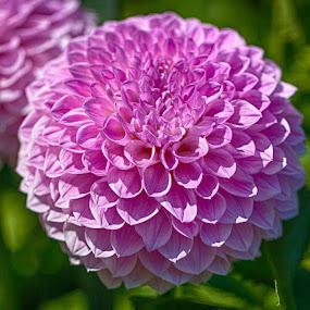 Summer Dahlia by Brent Morris - Flowers Flower Gardens (  )
