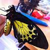 Helena's birdwing