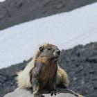 Yellow-Bellied Marmot?