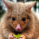 Golden Brush Tailed Possum