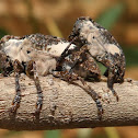 Longhorn Beetle (mating)