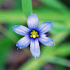Blue Eyed Grass Flower