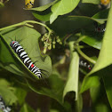 Caterpillar of Rice Paper Butterfly or Paper Kite